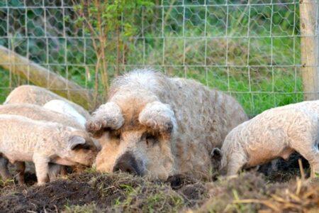 Мангалица – къдравите прасенца