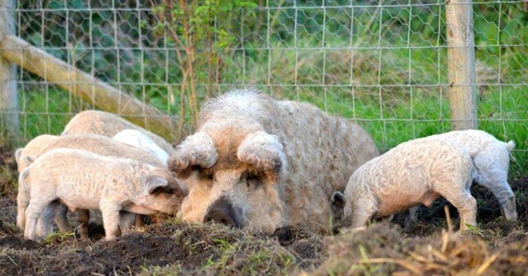 'Мангалица – къдравите прасенца